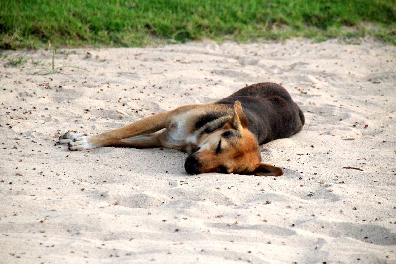 slapende hond op het strand van Bophut Beach, Koh Samui