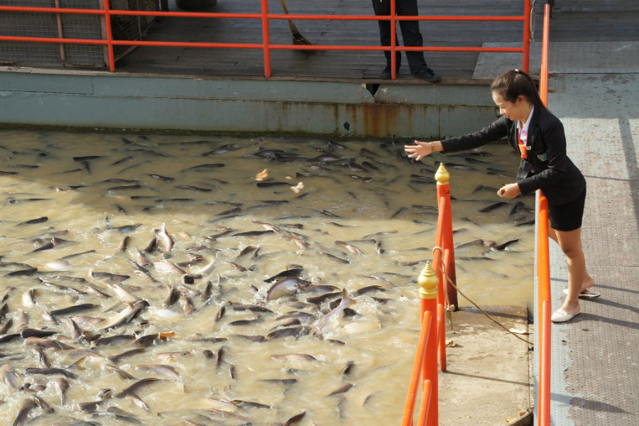 Feeding Fish In Thailand