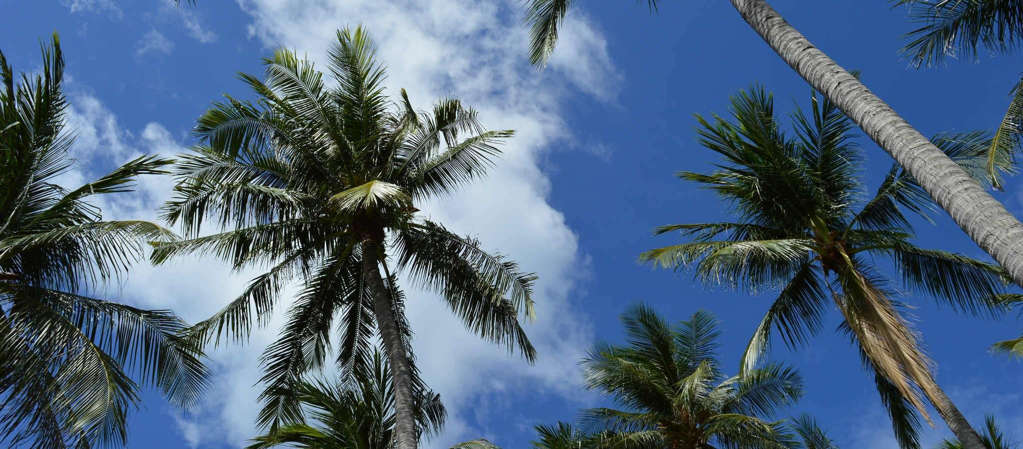 Koh Samui Palmbomen