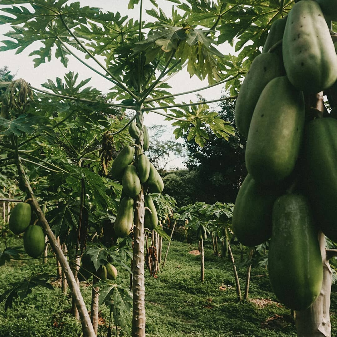 Papaya on the trees on the grounds of the Pai Land Split