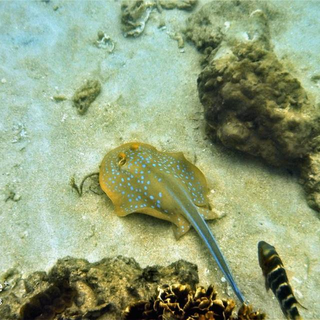 A Blue Spotted Stingray while snorkeling in the waters of Jansom Bay on Koh Tao
