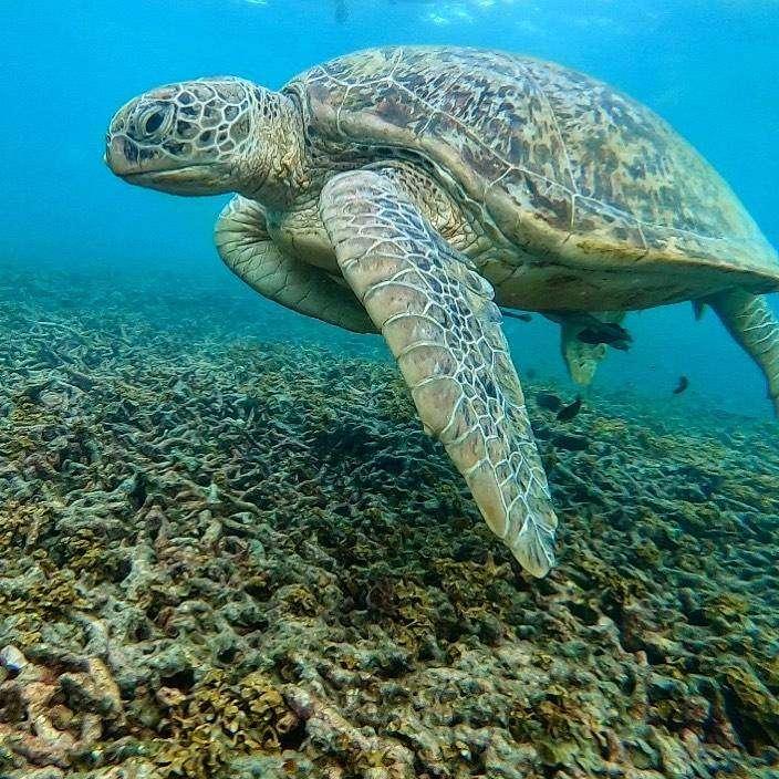 Schildpad in Shark Bay (Tian Og Bay) op Koh Tao