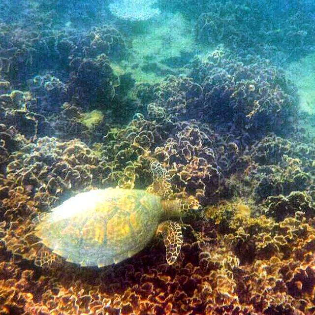 A turtle snorkeling in the sea of Jansom Bay on Koh Tao