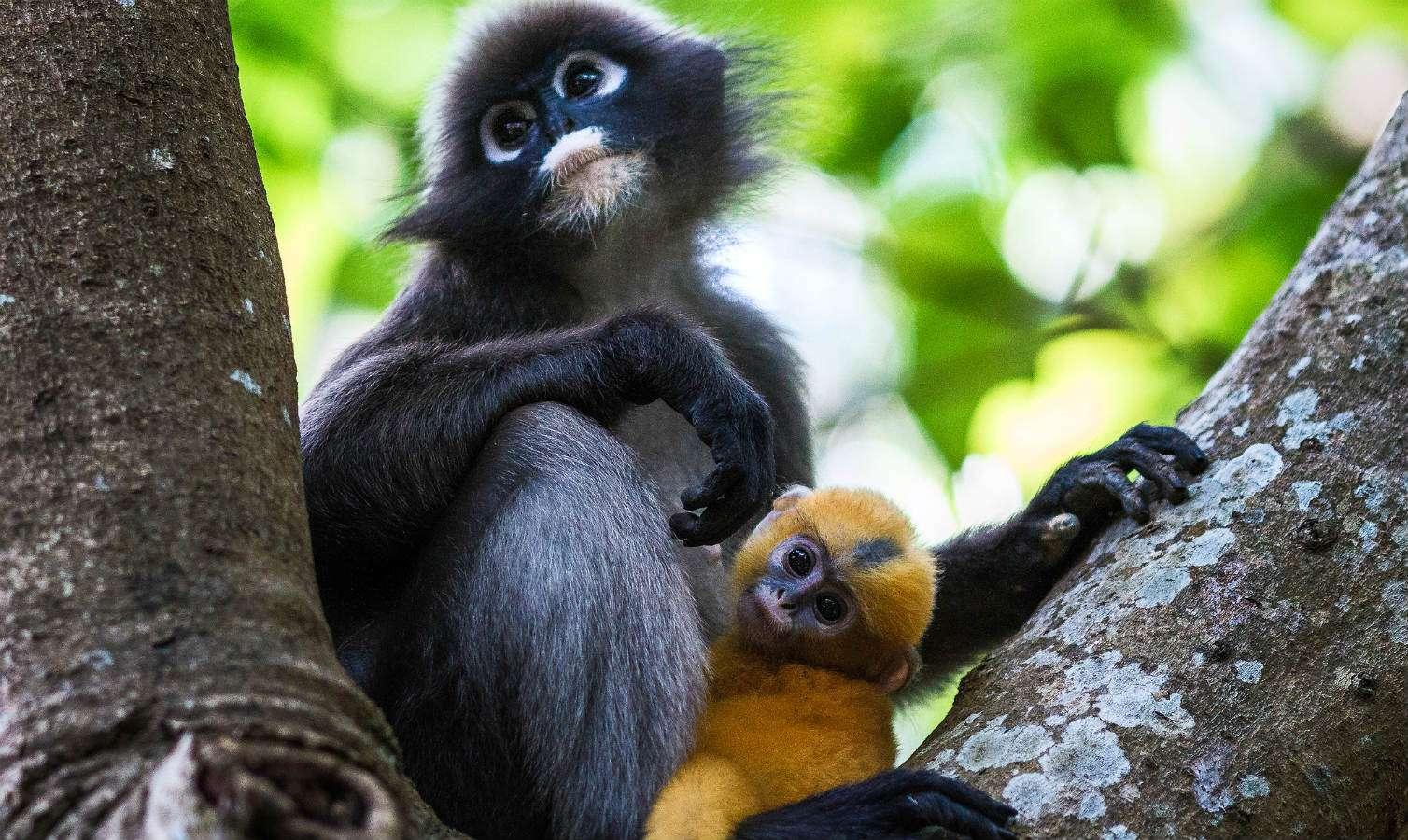 Moeder Brilangoer met nog geel baby Brillangoer aapje in boom van Railay East