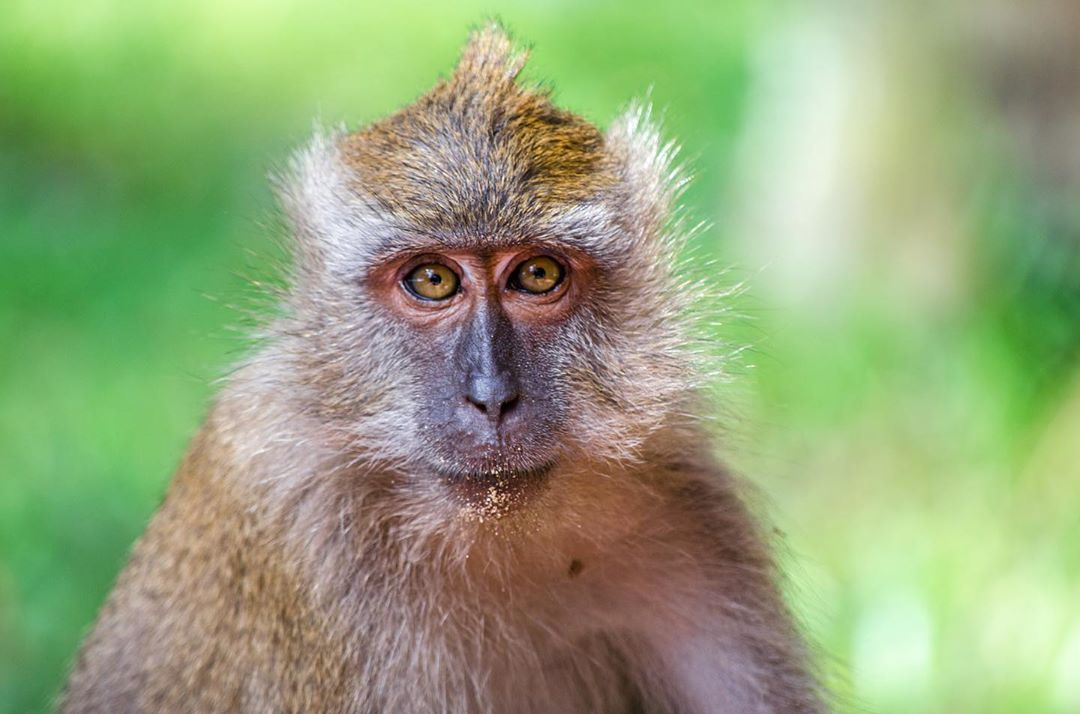 A crab-eating macaque on Koh Tarutao