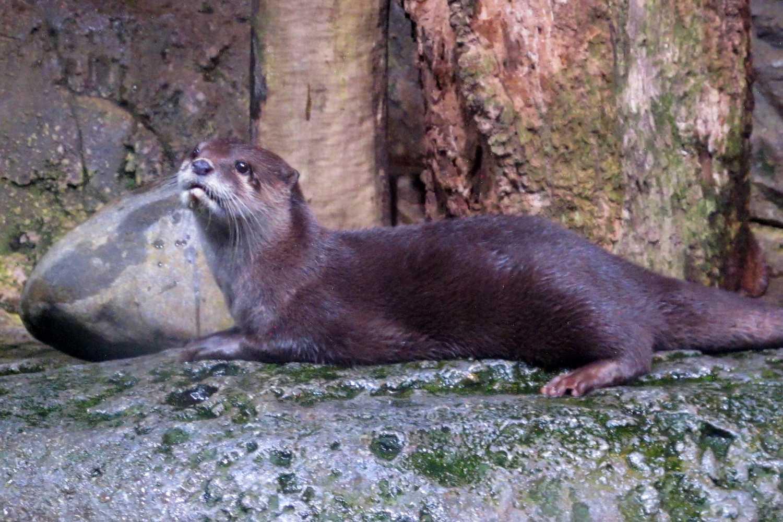 An otter in Sea Life Bangkok, Thailand