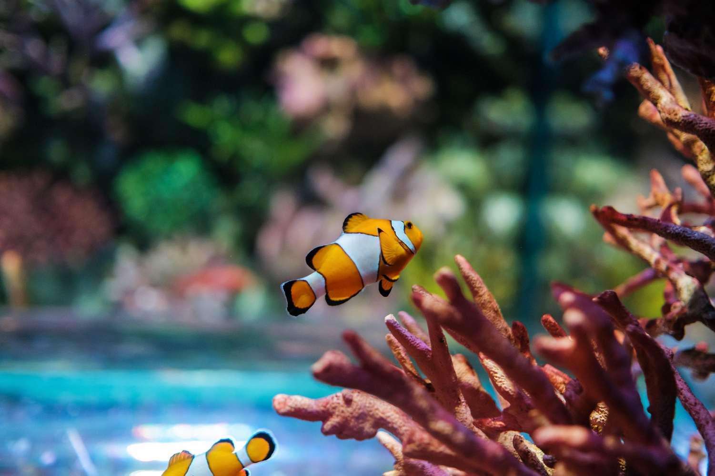 Nemo Visje tussen het koraal in een aquarium van Sea Life Bangkok
