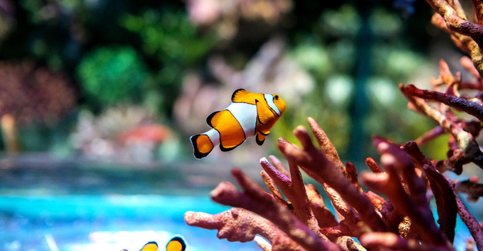 Sea Life Bangkok, Nemo Visje tussen het koraal in aquarium in Bangkok, Thailand