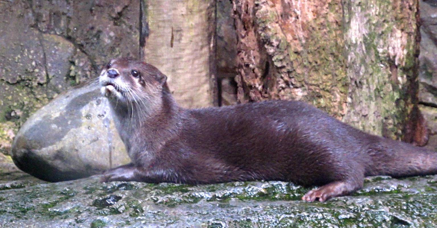 Sea Life Bangkok, otter