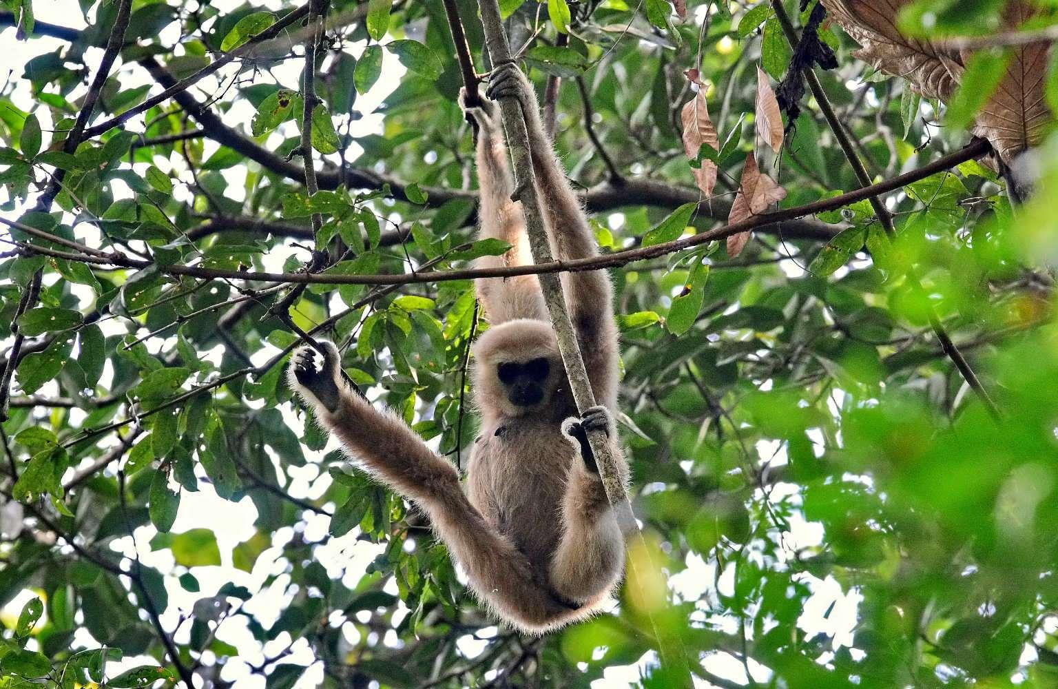 Gibbon Cheow Lan Lake Khao Sok