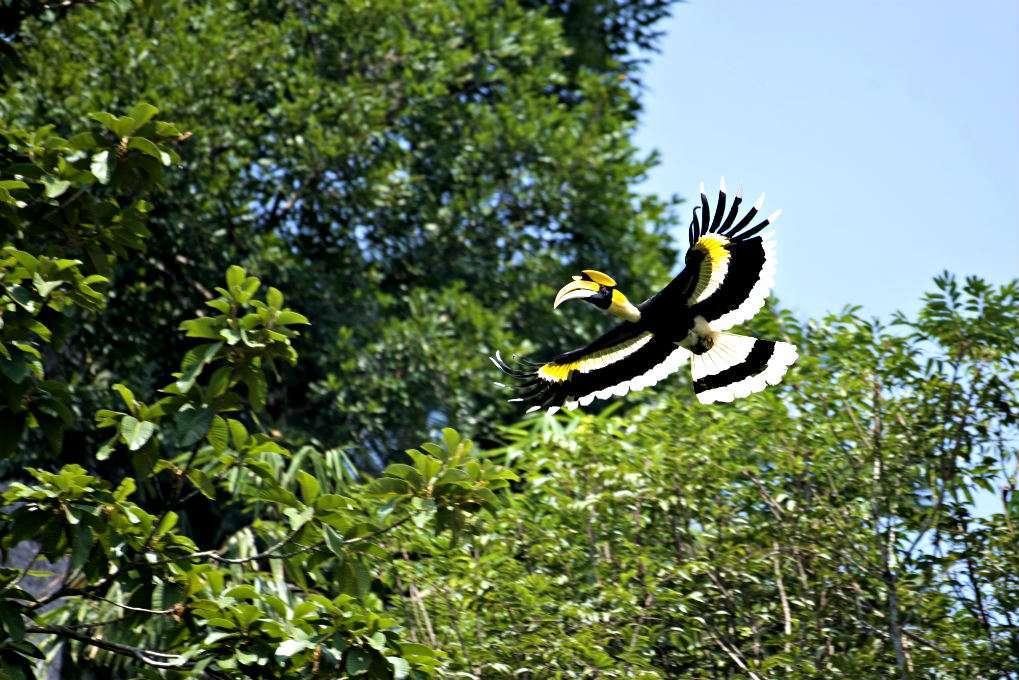 Cheow Lake voorbij vliegende Hornbill