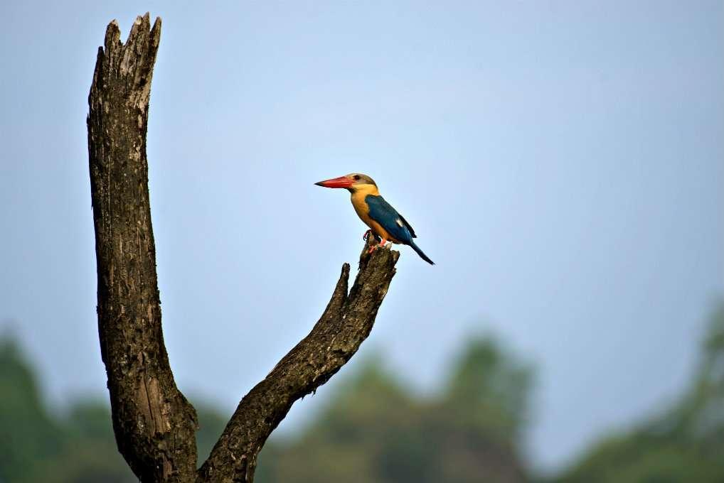 blauw met gele vogel op tak, Cheow Lan Lake Khao Sok