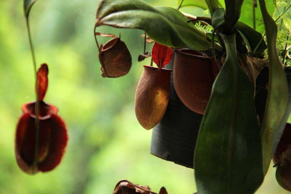 Een vleesetende plant in de tropische tuin van het Khao Sok Morning Mist Resort