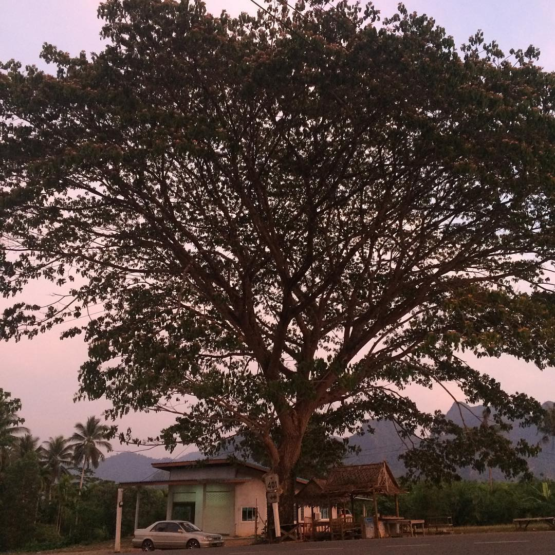 Huge tree at the bus station of the village Khao Sok