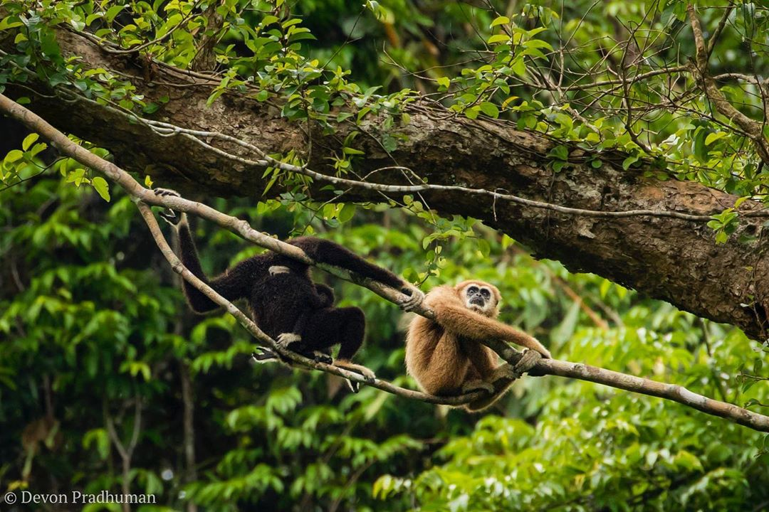 Two gibbons high in a tree in the jungle of Khao Sok National Park