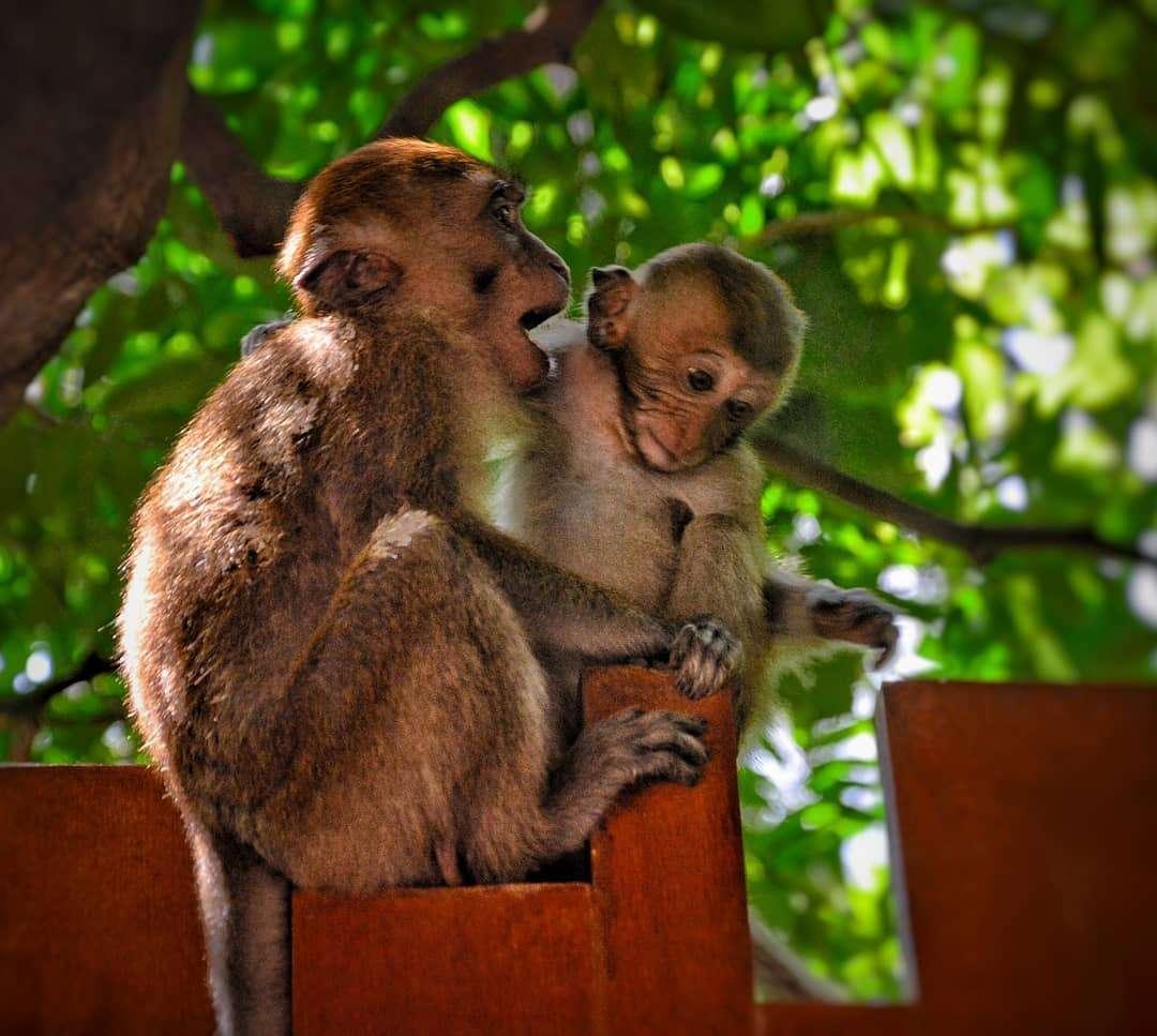 Moeder makaak met baby makaak
