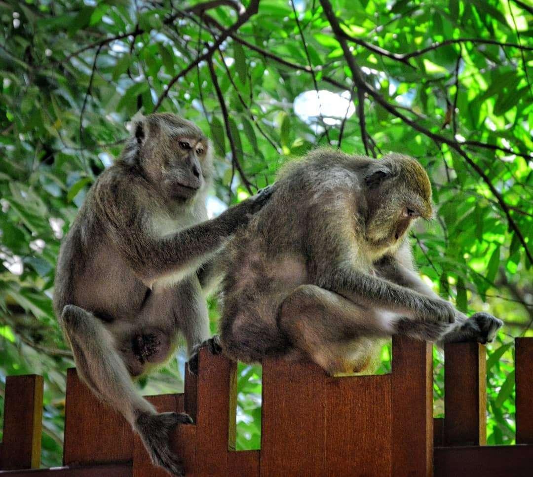 makaken die elkaar vlooien