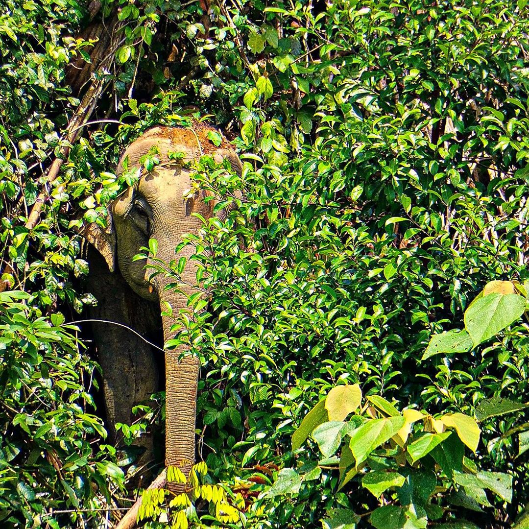 Een wilde olifant in de jungle van Khao Sok National Park