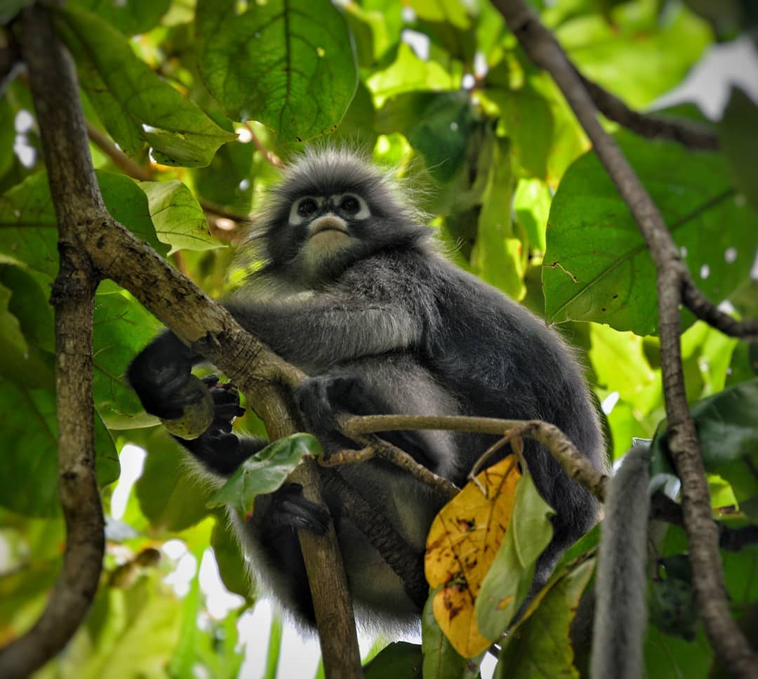 dusky leaf monkey in een boom
