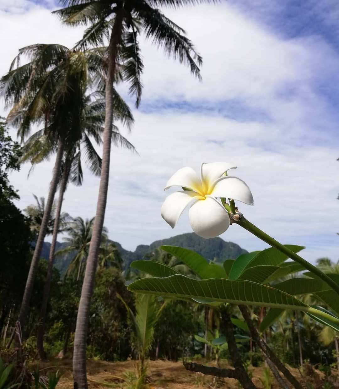 Mooie bloem met de natuur zoals palmbomen daaromheen op Koh Phi Phi