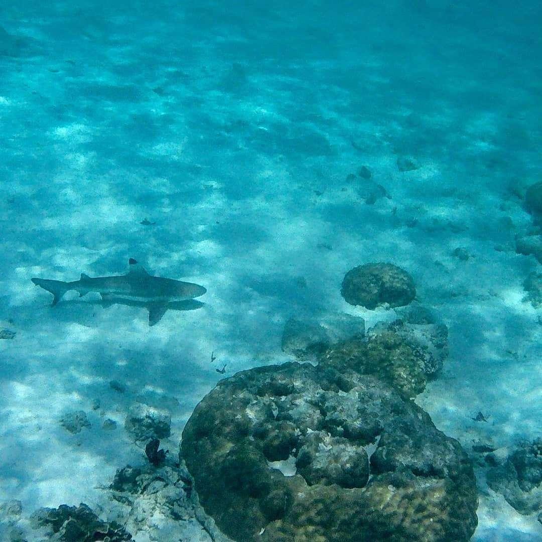 Een haai bij Shark Point op Koh Phi Phi