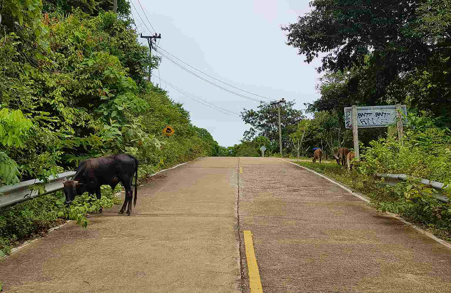 National Park Koh Lanta, cow on the road to the park