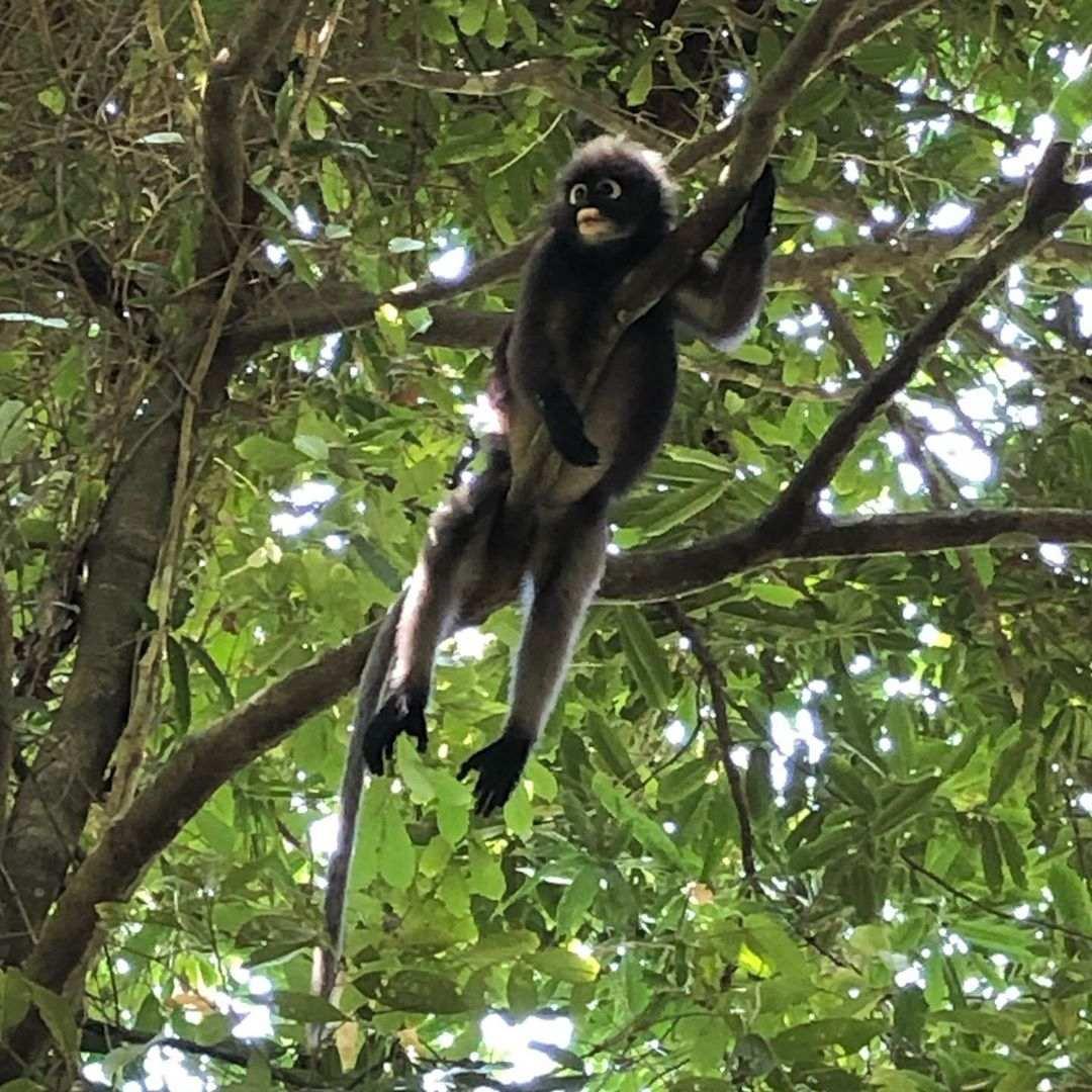 Aapje in een boom op Koh Lanta