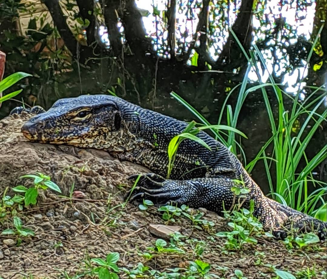 Monitor Lizard op Koh Lanta