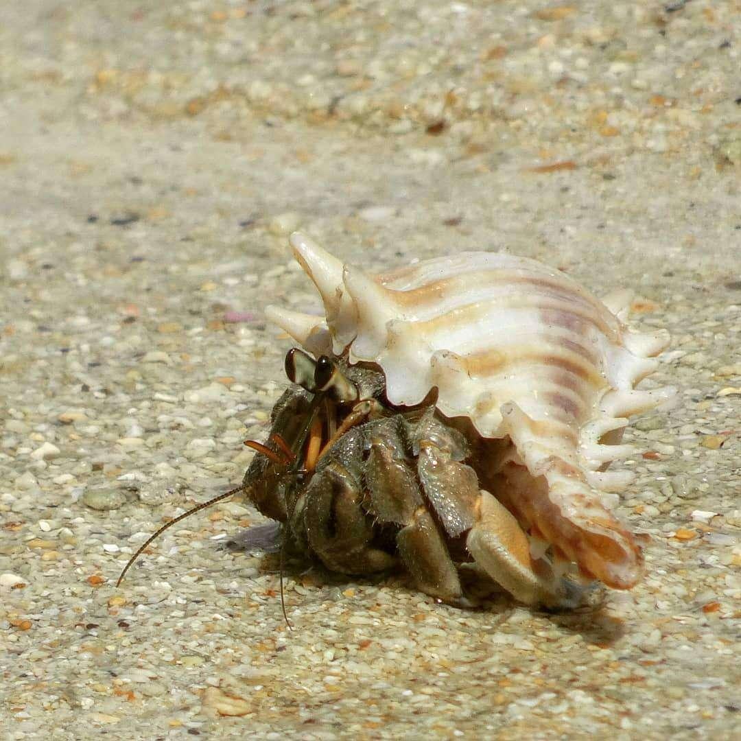 Hermit crab on Koh Kradan