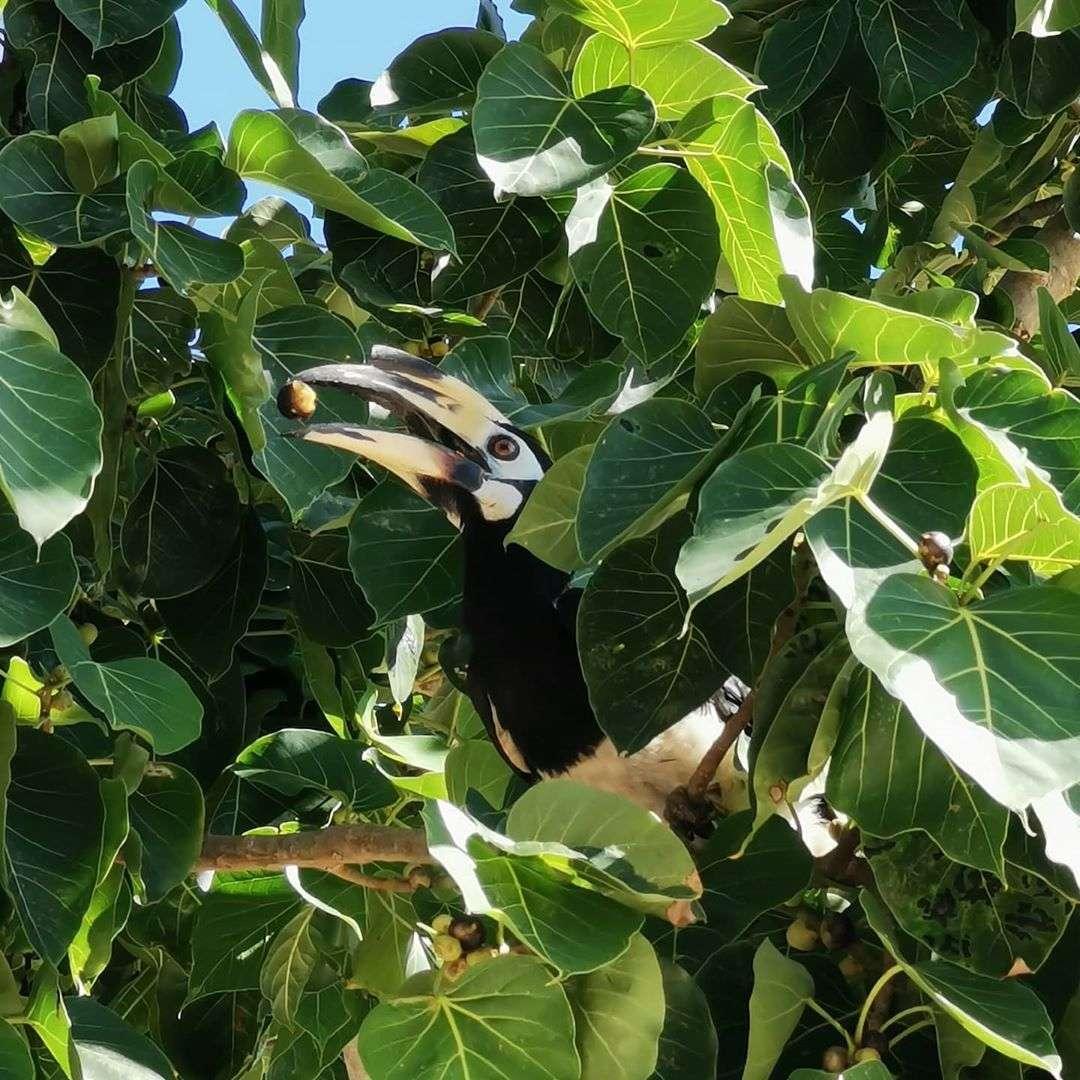 Neushoornvogel op Koh Ngai