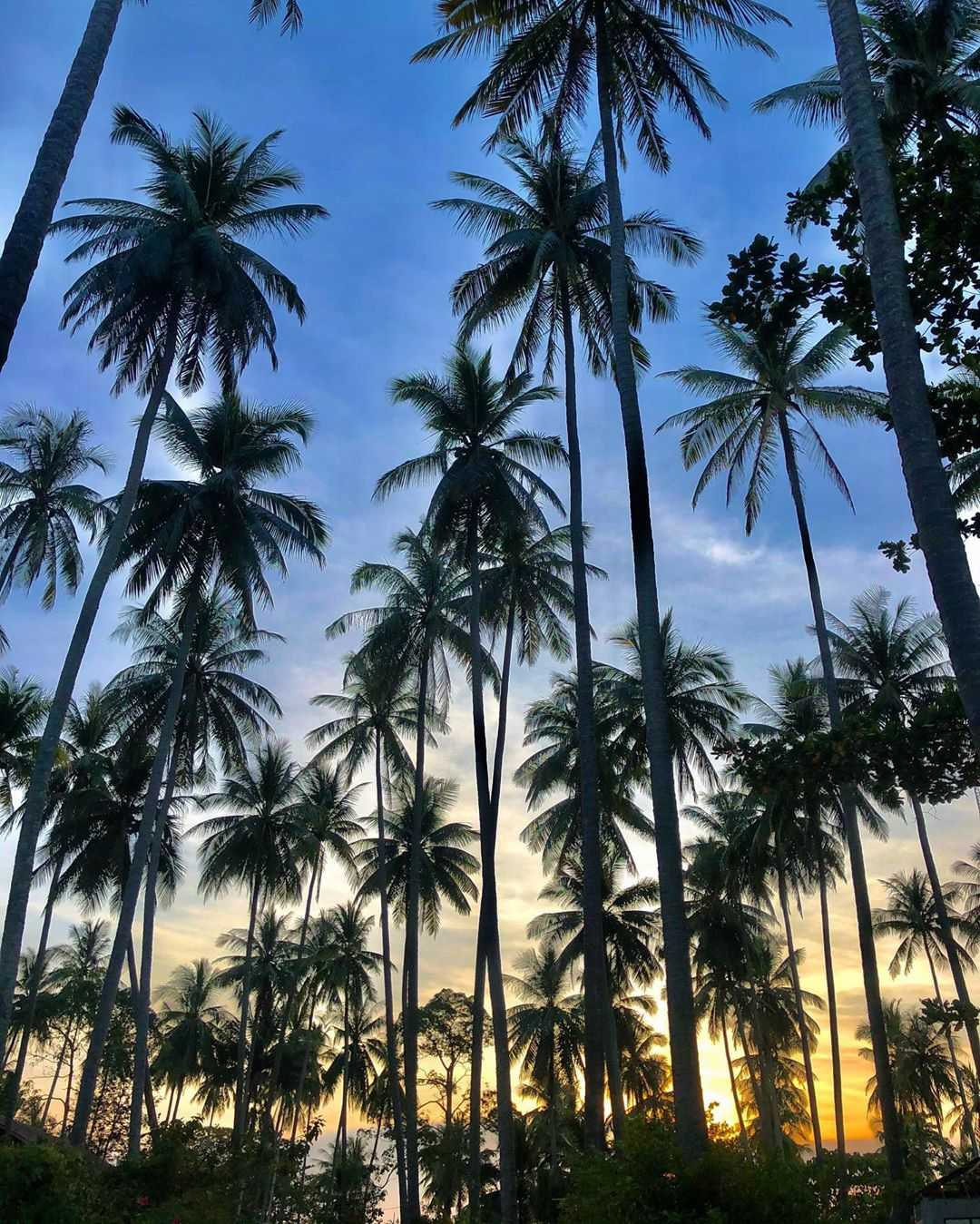 Palmbomen op Koh Mook