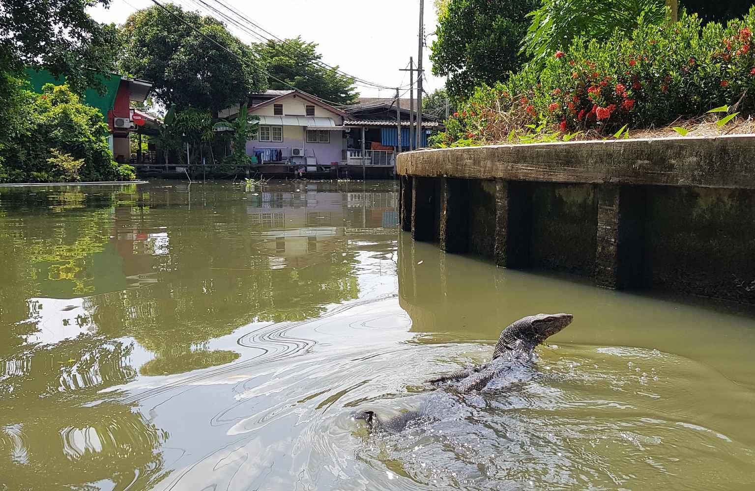 Grote varaan in een kanaal van Bangkok