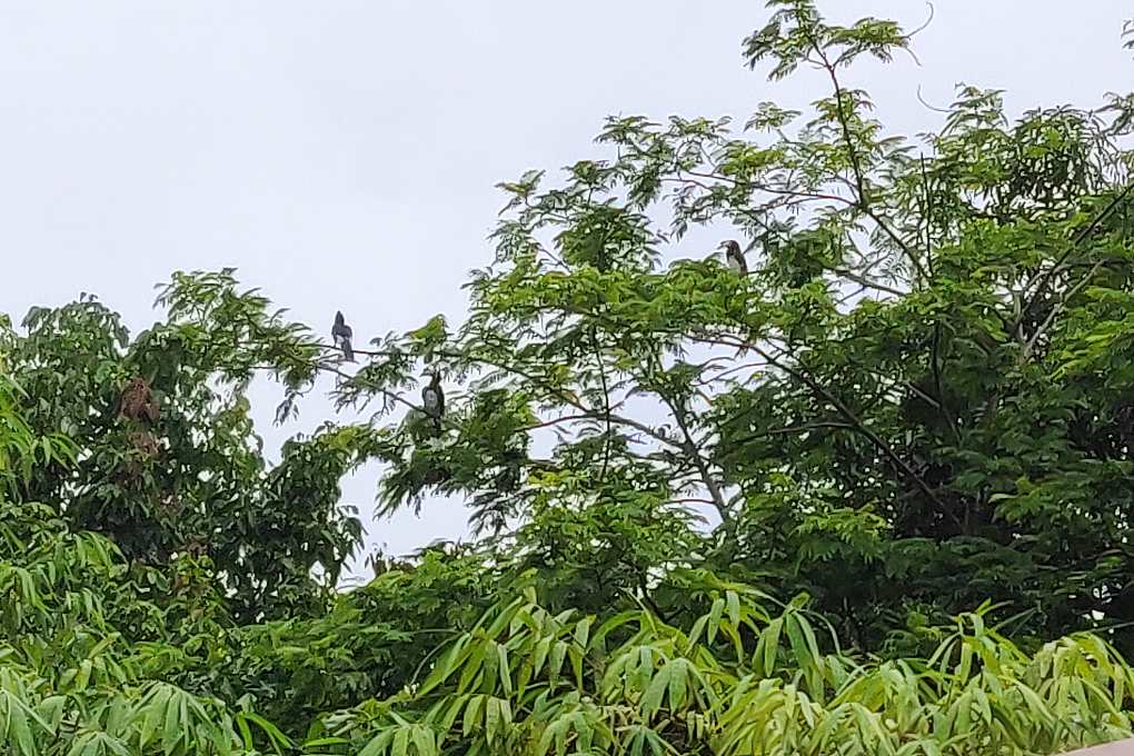 Toekans in de bomen van het resort op Koh Mook
