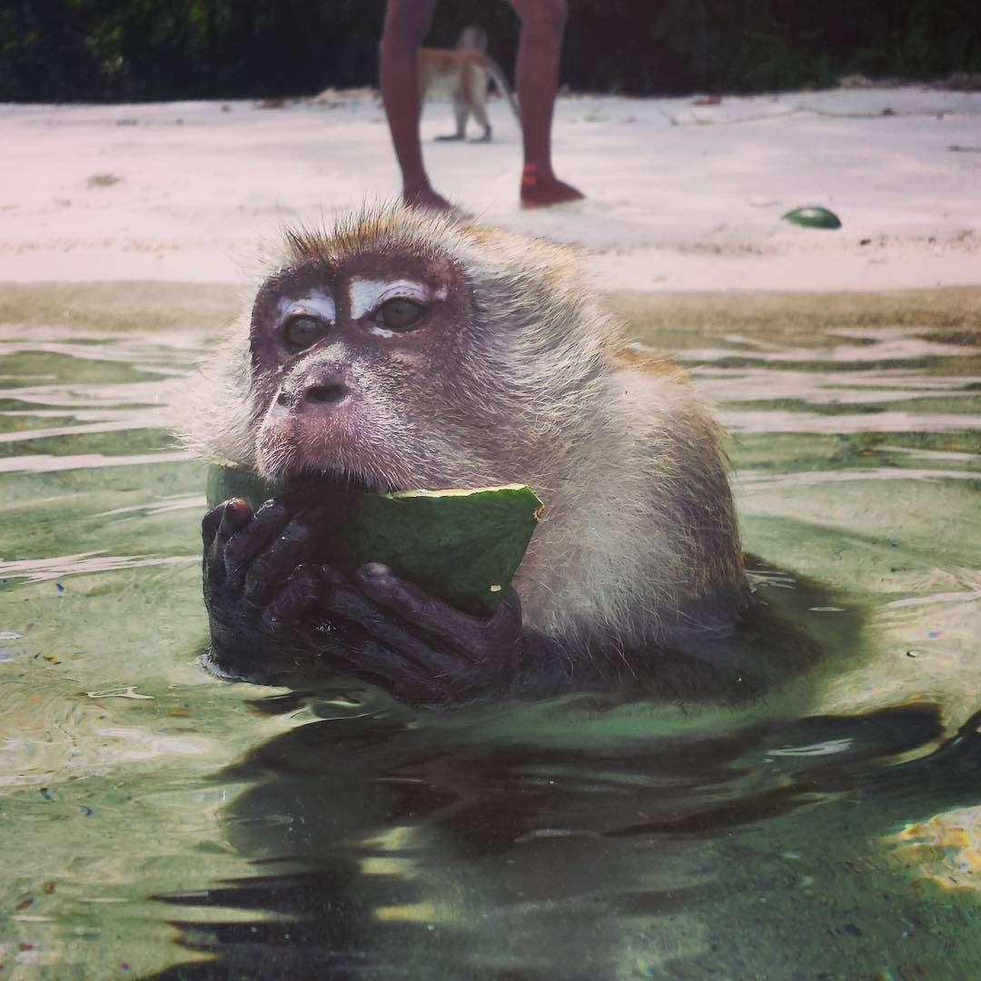 aapje in de zee die watermeloen eet in het Tarutao National Park