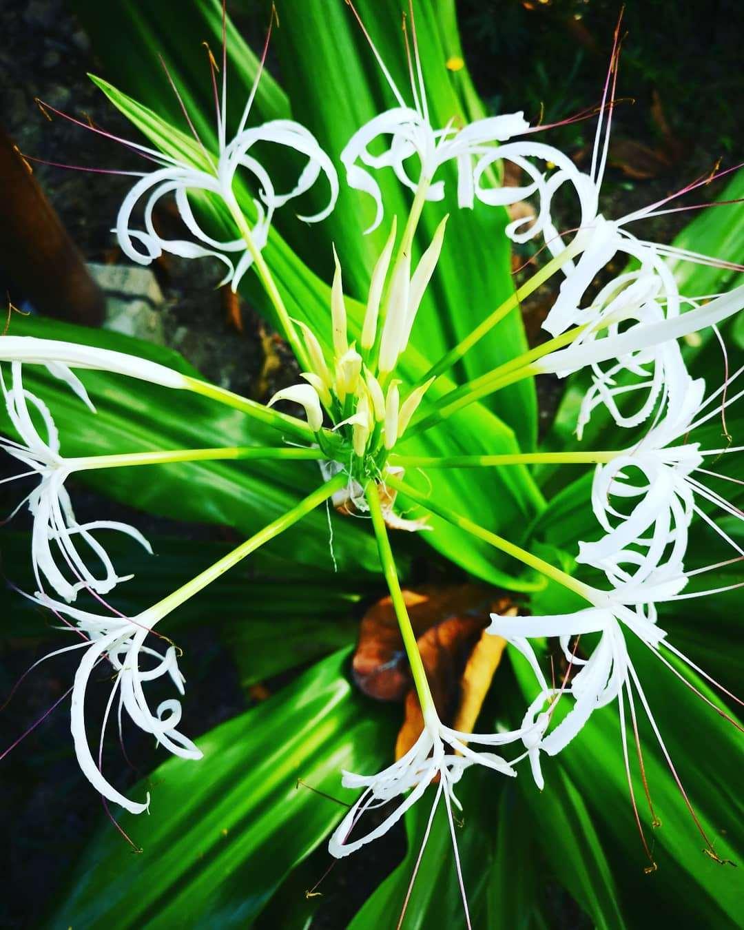mooie bloem in het Tarutao National Park