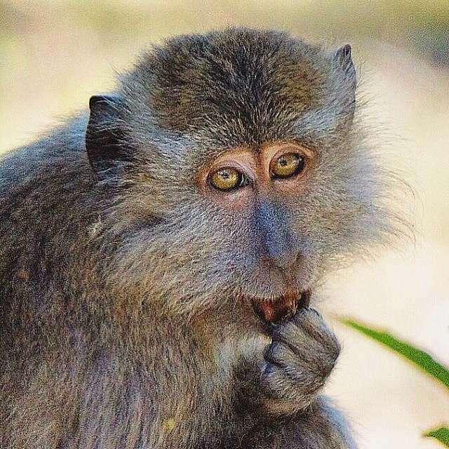 aapje in het Tarutao National Park