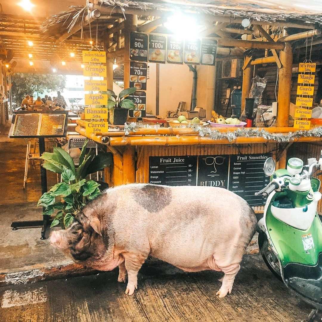 Varken voor een street food stall in Koh Tao