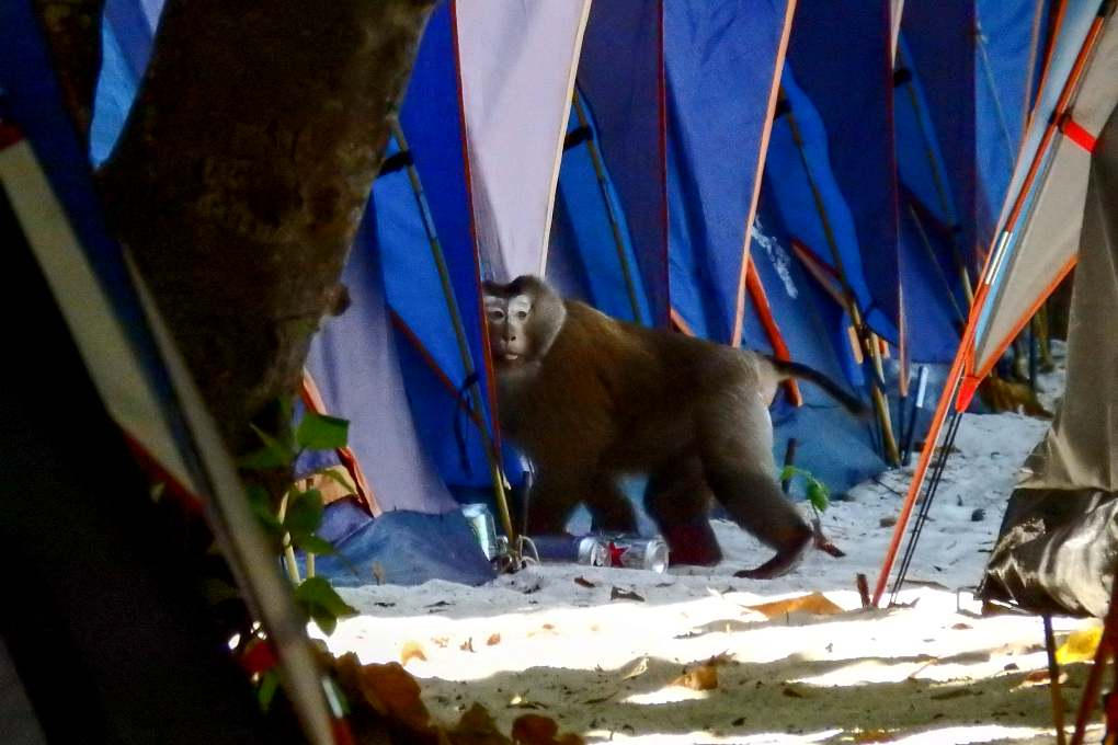 Monkey sneaks into tent on the beach