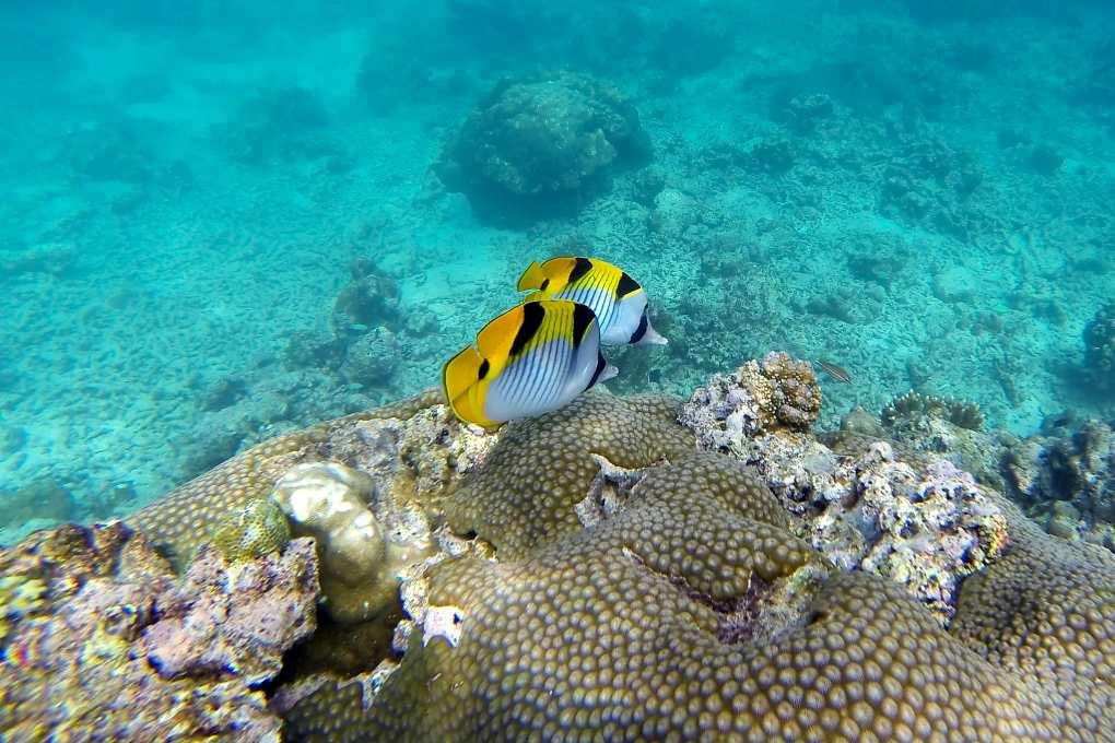 Yellow fish swim along coral
