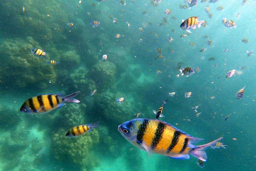 Geel / zwart gestreepte vissen tijdens snorkeltour
