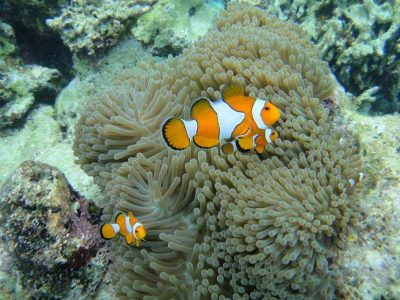 Nemo Fish Swim In Near Soft Coral