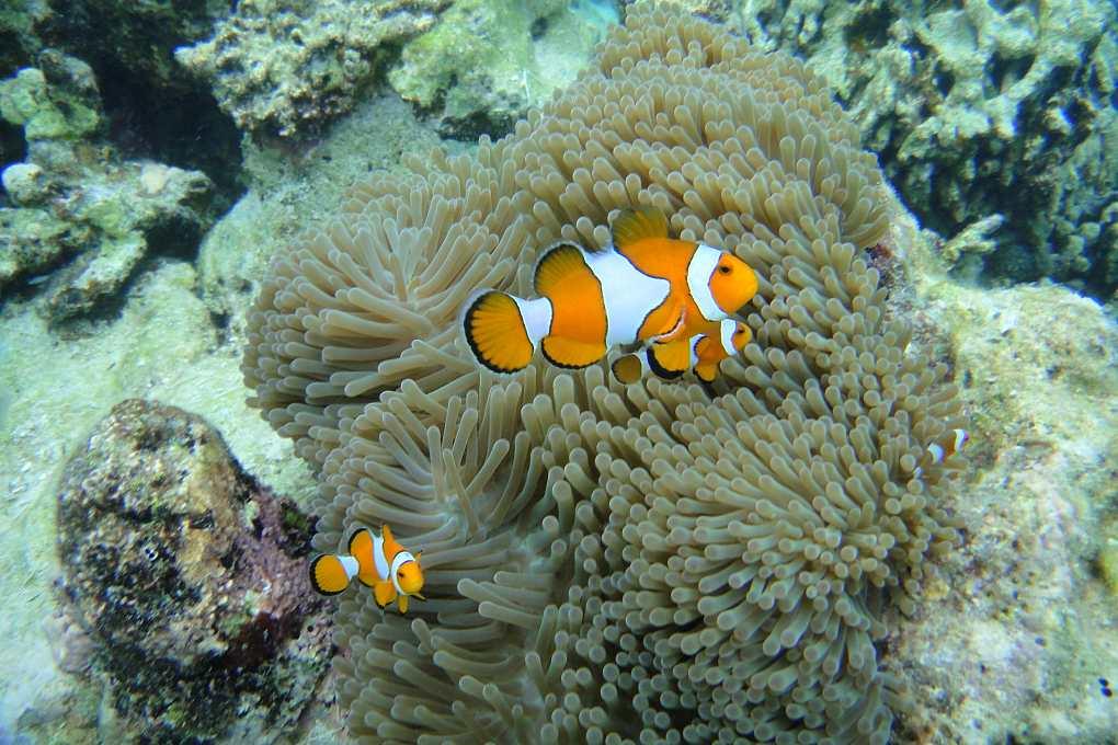 Nemo fish swim in near soft coral
