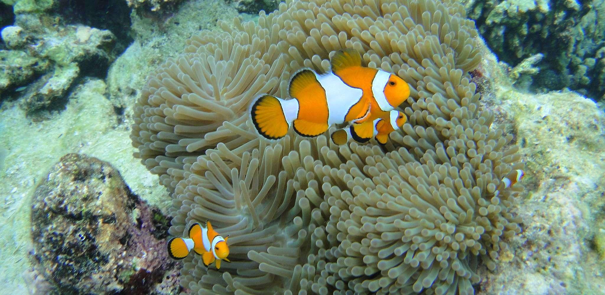 3 nemo vissen voor zacht koraal in de zee