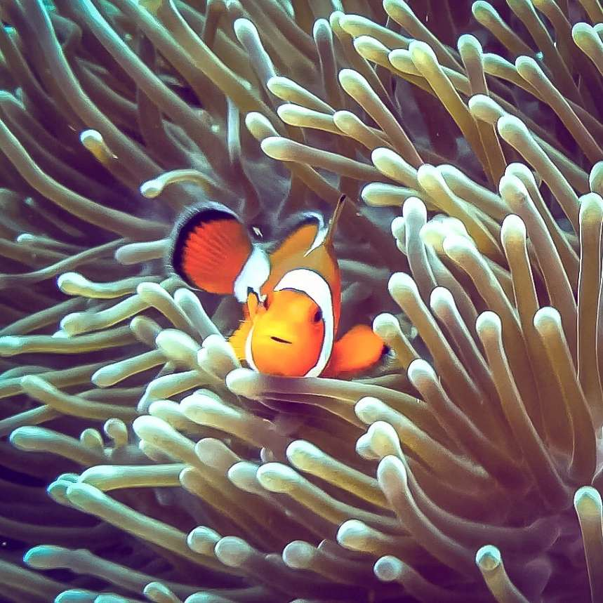 Nemo fish in the waters of the Surin Islands
