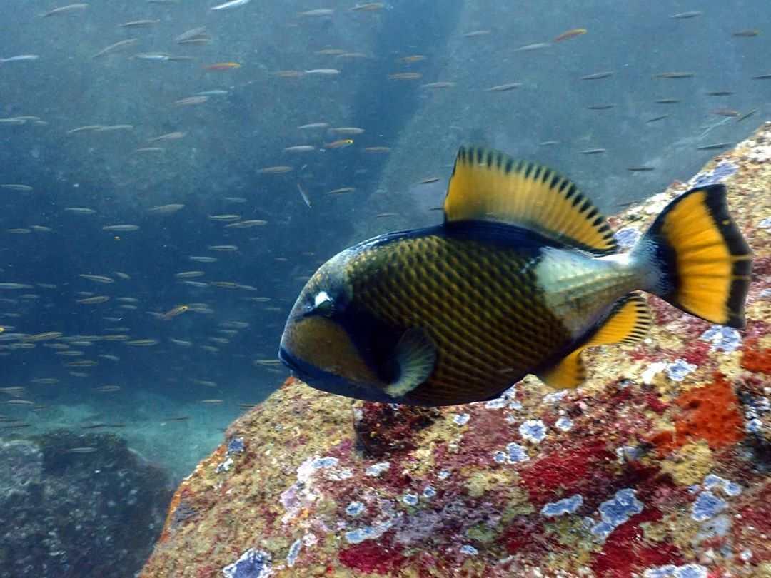 Titan Triggerfish in de zee van de Surin Eilanden