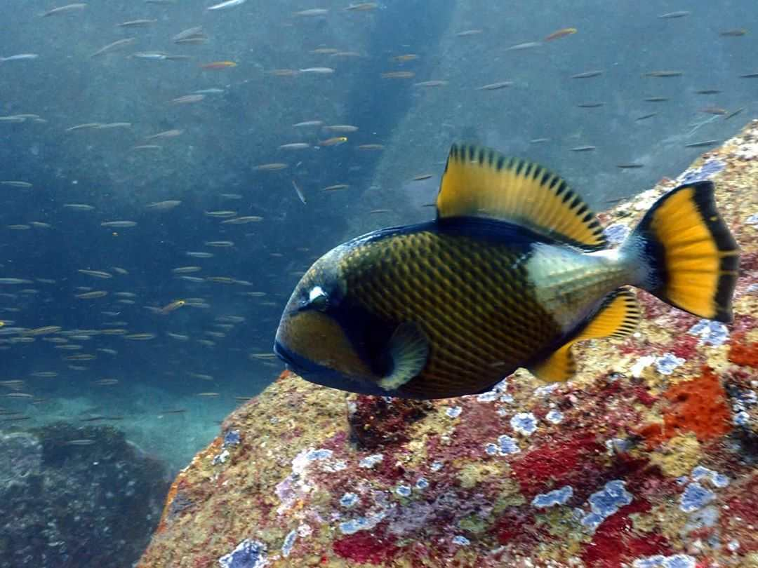 Titan Triggerfish in the sea of the Surin Islands