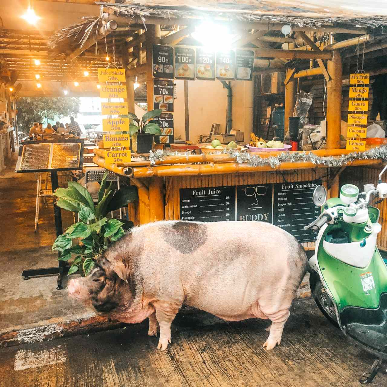 Pig at Bed & Ink Hostel in Mae Haad on Koh Tao