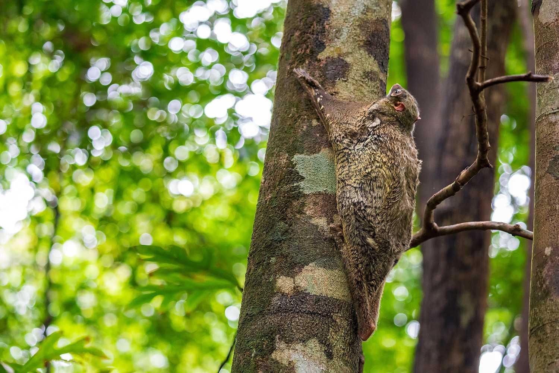 Vliegende kat in boom in het Khao Lak Lam Ru National Park