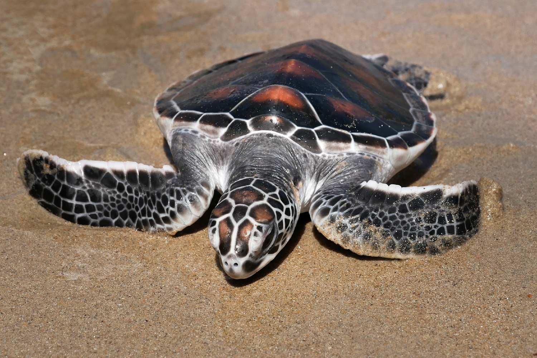 Turtle in the sand, turtles shelter centum Khao Lak, Phang Nga