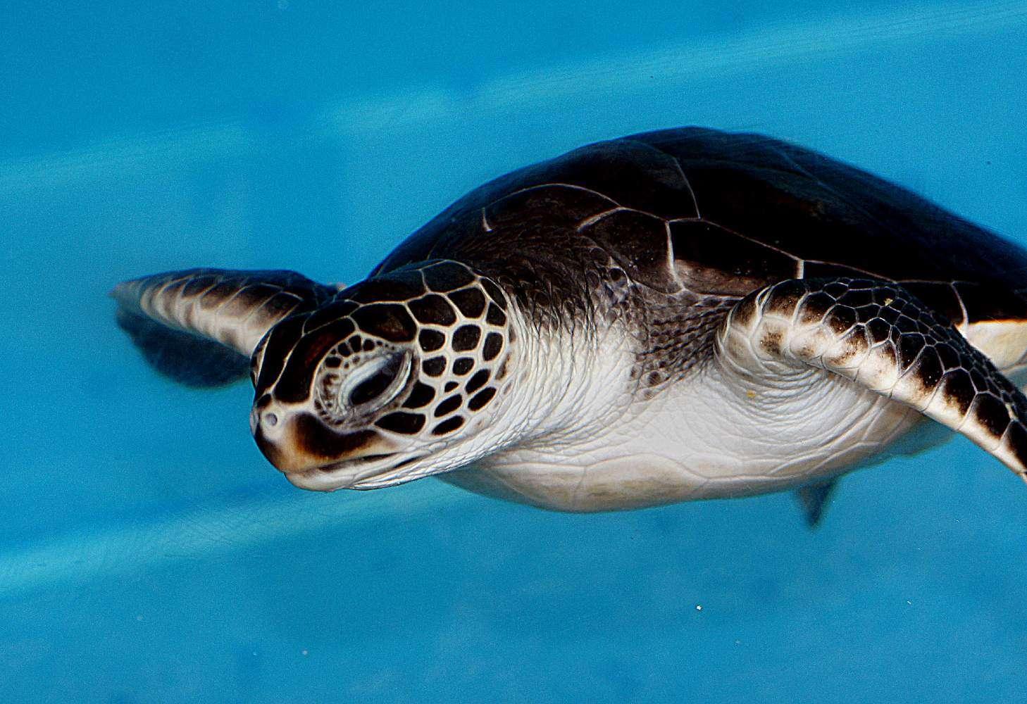 Schildpad in schildpaddenopvang Khao Lak, Thailand